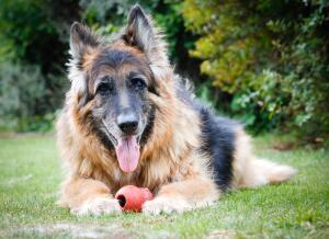 Как ухаживать за пожилой собакой?