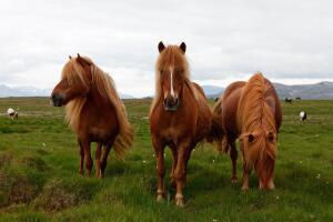 Летящей походкой? Об исландской лошади
