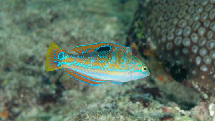 Миротворцы морей и аквариумов. Чем полезны рыбы губаны?