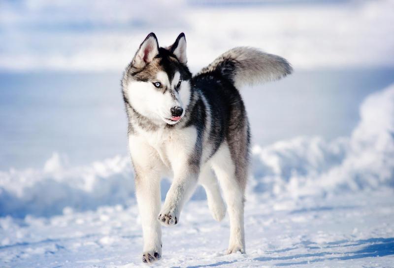 Хаски. Стоит ли заводить эту собаку? | Животные | ШколаЖизни.