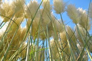 Дикорастущие и декоративные травы. За что их любят садоводы?