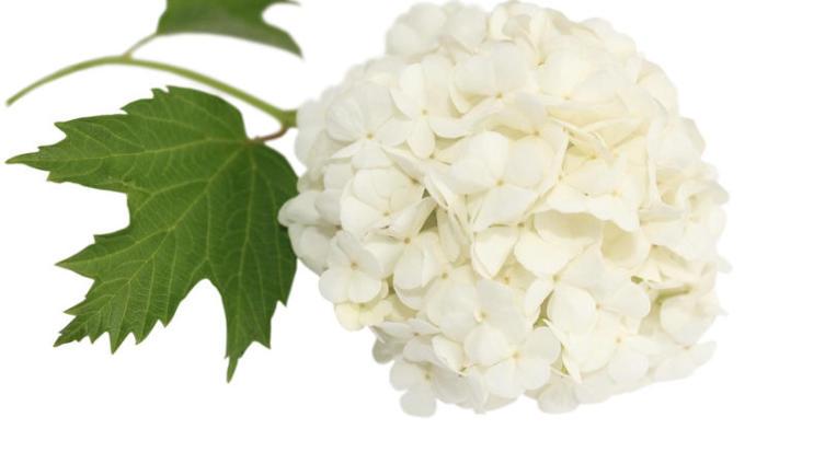 Калина Бульденеж - вечная невеста?