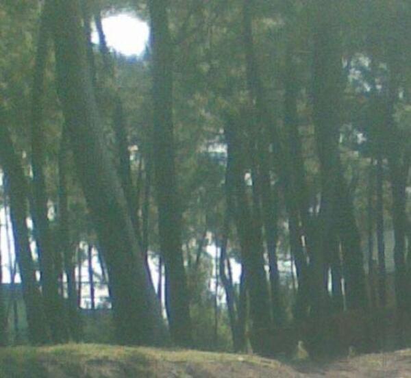 Почти вплотную к морю растёт старый сосновый лес