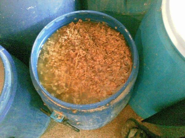 Вот в таких больших бочках солят и хранят джонджоли