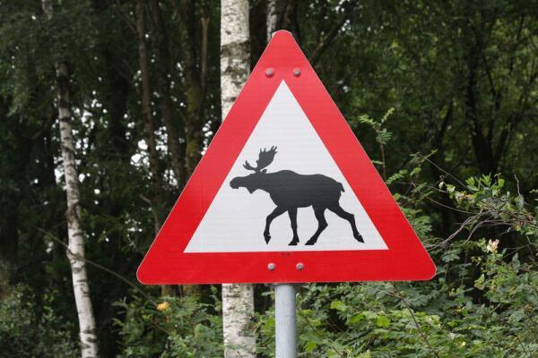 Как узнать дурака и лося на дороге?