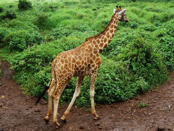 Шаг жирафа составляет более 4 метров. Он может бежать со скоростью до 50 км/ч, при этом прыжки доходят до 8 метров