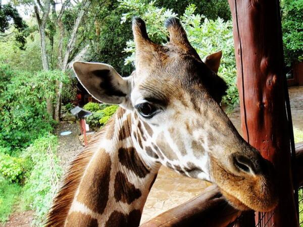Глаза жирафа посажены так, что он может видеть во все стороны, не поворачивая головы