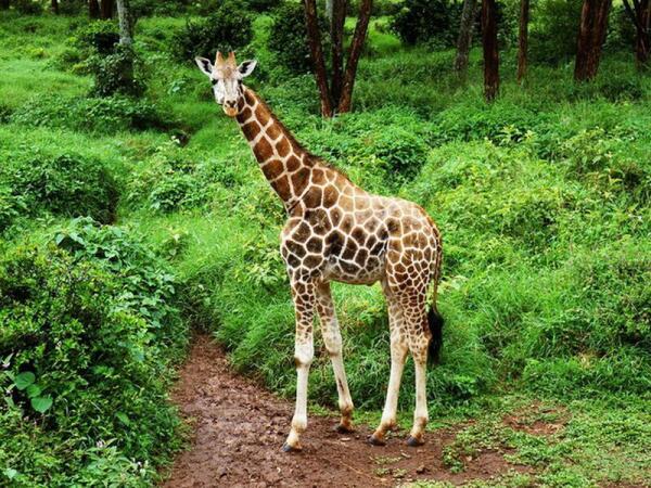 Жираф может обходиться без воды дольше, чем верблюд