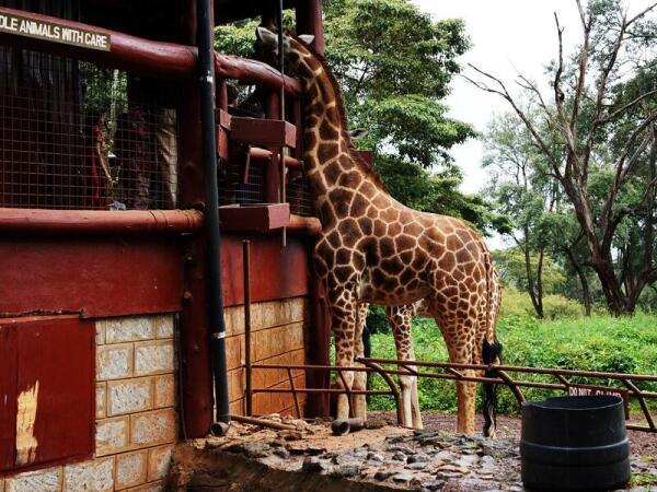 Если жираф, свободно гуляющий по огромной территории Центра, захочет, он подойдет к платформе с людьми