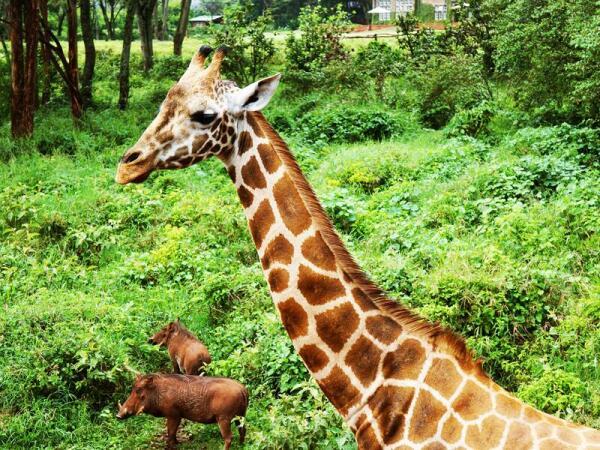 Жирафы живут в Центре вместе с африканскими бородавочниками: редкая возможность увидеть этих робких животных, обычно очень скрытных в их естественной среде обитания