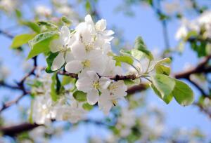 Нужно ли обрывать цветки у яблони?