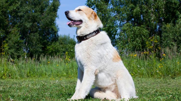 Собака-охранник для частного дома. Как правильно выбрать и воспитать?