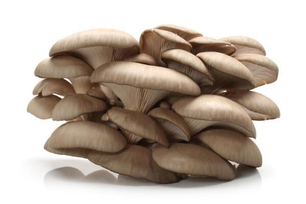 Как выращивать гриб вешенку?