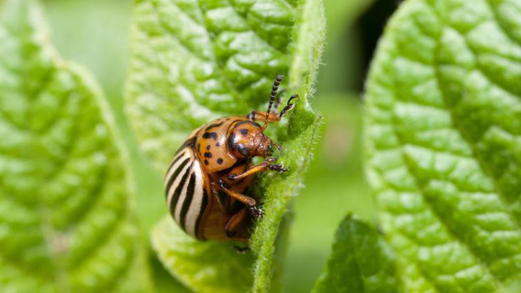 Колорадский жук: как мы с ним боролись во времена моего тинейджерства?