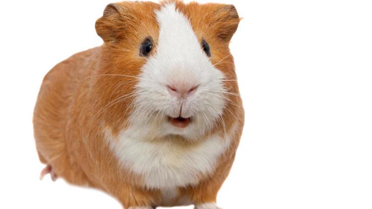 Как часто нужно мыть хомяков, морских свинок и прочих питомцев?