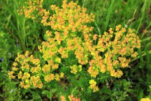 Удивительное растение молочай. Чем он хорош в озеленении?