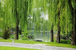 У какого дерева более 100 названий?