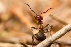 Строят ли муравьи мегаполисы?