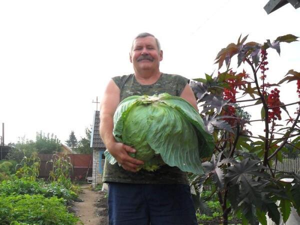Полностью созревший кочан капусты