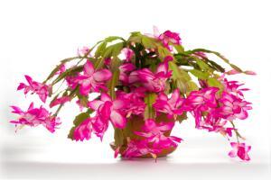 Лесные кактусы. Как содержать их в домашних условиях?