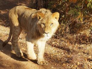 Прогулка со львами. Когда нужно притвориться деревом?