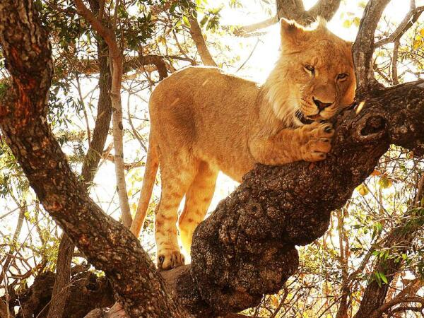 Поскрести дерево для кота – истинное удовольствие!