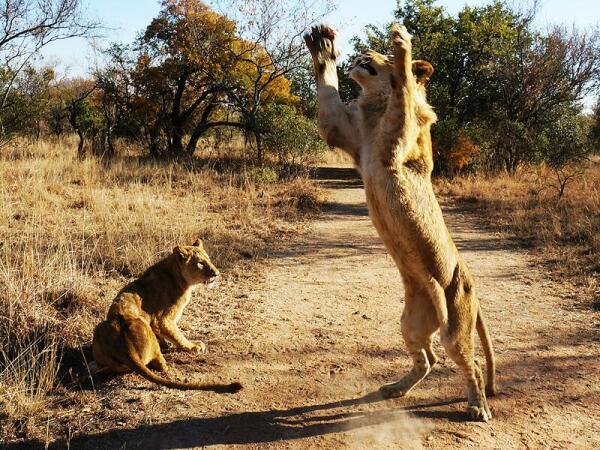 Львиный волейбол