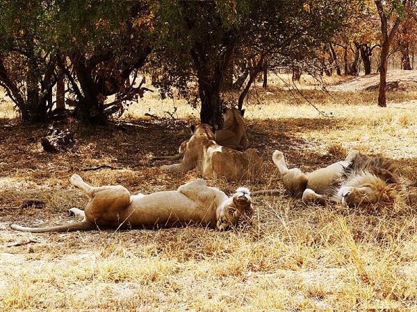 Львиный прайд, полуденный отдых
