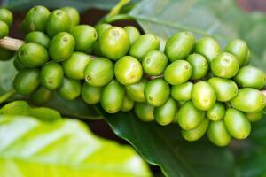 Зеленый кофе – лучшее средство для похудения. Миф или реальность?
