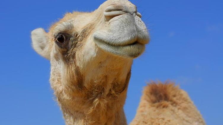 Были ли на Урале верблюды?