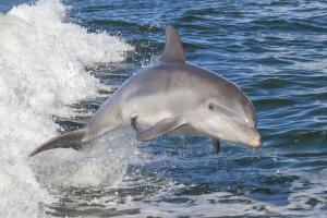 Тайдзи - бухта смерти. Зачем убивают дельфинов?