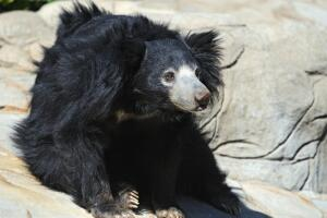 Медведь-губач - карикатура на медведя?