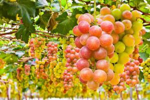 В ягодах винограда содержится много глюкозы и солей калия.
