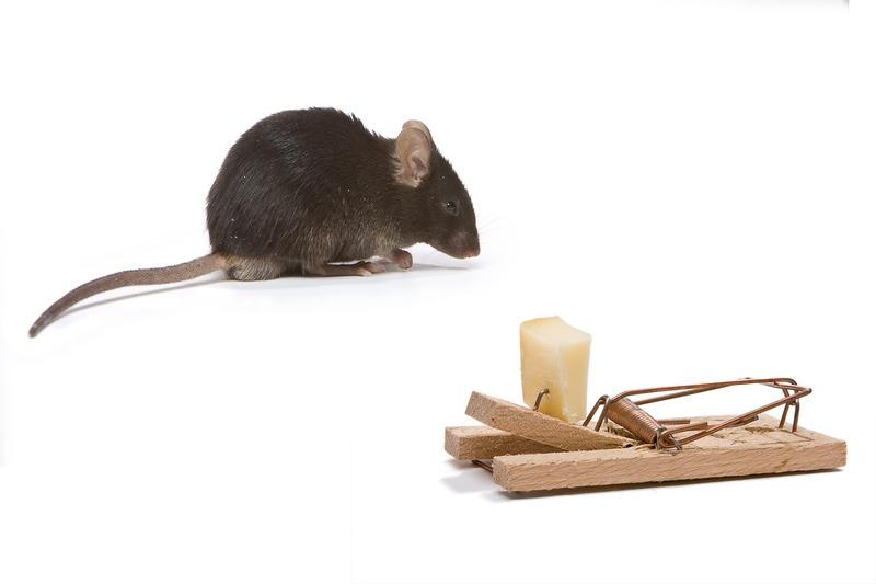 Как бороться с мышами?
