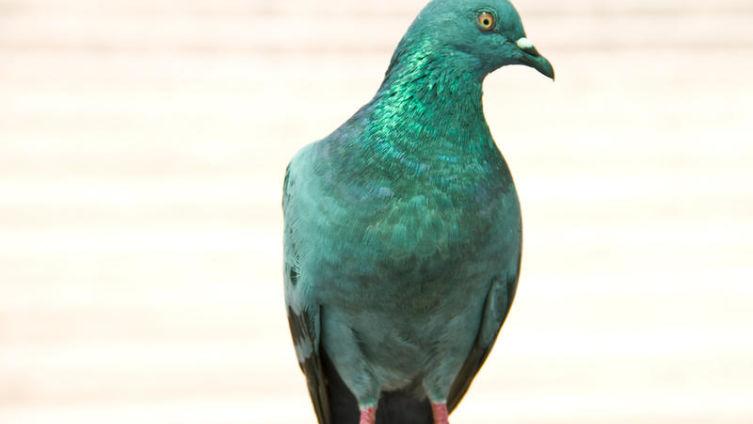 Откуда родом домашний голубь?