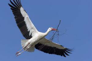 Аист черный, аист белый... Где и как живет любимая птица?