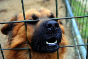 Есть ли на свете собаки с металлическими зубами?