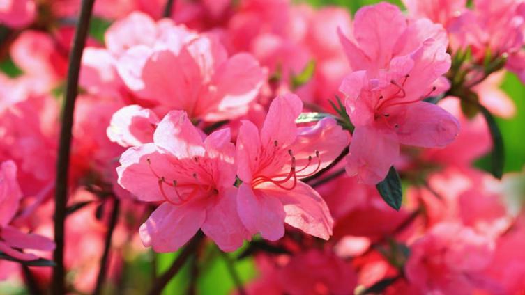 Рододендрон - божественное растение. Чем он знаменит?