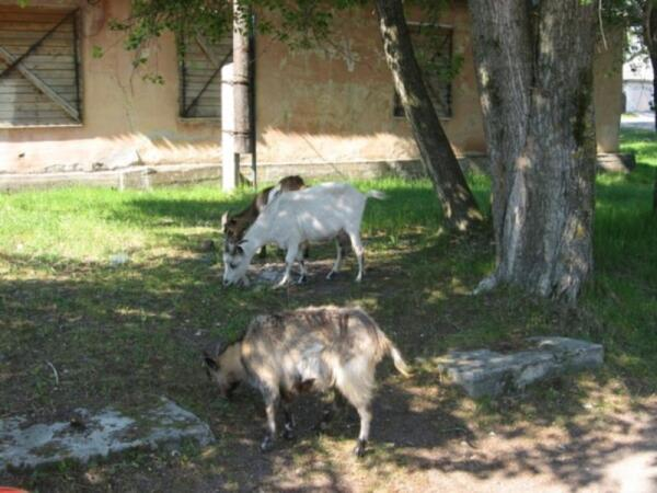 Летом козы пасутся во дворах, прямо в центре Сегежи