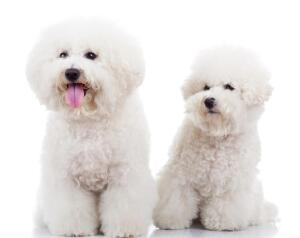 Каких собак называют «сладкой ватой»? История породы бишон фризе