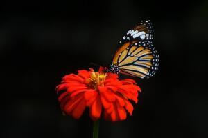 Чем привлекательна чёрная бабочка одиночества?