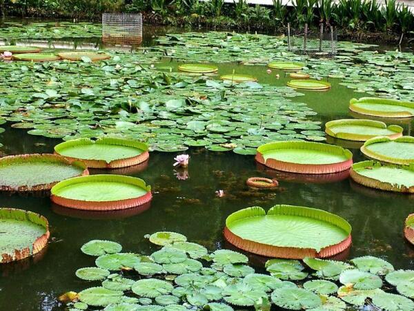 Водные растения в сингапурском ботаническом саду