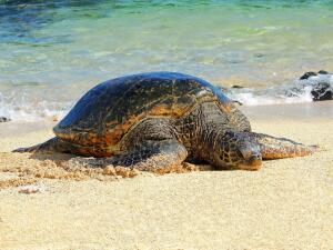 Почему зеленая морская черепаха оказалась под угрозой вымирания?