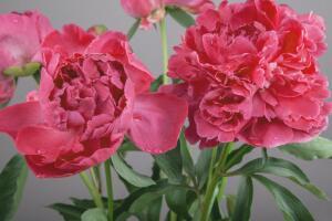 Пион - достойный соперник розы. Почему?