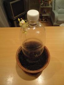 Сверху накрыл посаженную семечку обрезанной со дна полуторалитровой пластиковой бутылкой