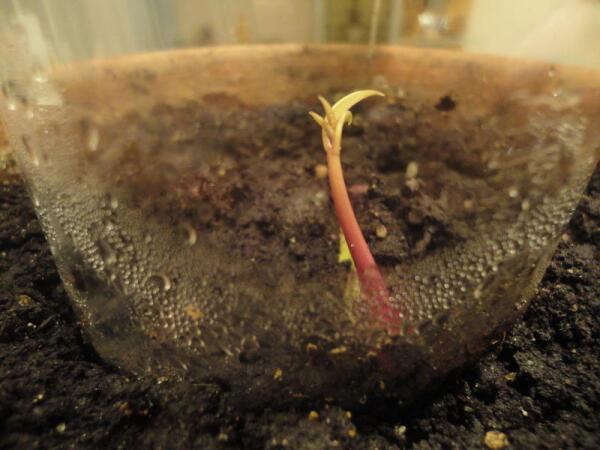 К концу первой декады февраля выглянул манго маленьким росточком на белый свет...