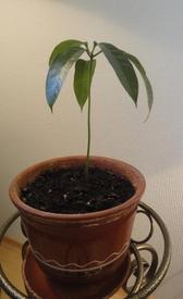 Вытянулся манго, обзавелся шапочкой из пяти продолговатых листиков на самой макушке