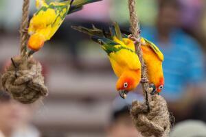 Какого выбрать попугайчика? О перьях цвета радуги