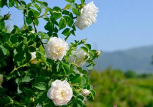 Чем знаменита казанлыкская роза?