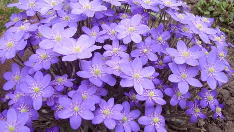Печеночница благородная - отличное украшение цветника